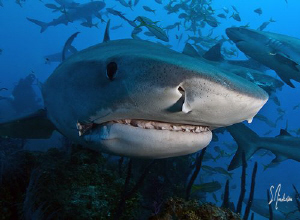 Mass chaos of sharks! Unbelievable shark action on all of... by Steven Anderson