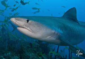 Emma the world famous Tiger Shark stops in for a quick he... by Steven Anderson