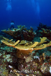 Elkhorn Coral, Exploratory Diving Expedition to the Sian ... by Aileen Caffrey