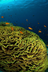 Lettuce Coral & Anthias by Paul Colley