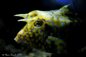 Close-up portrait of juvenile horned boxfish  (Lactoria c... by Marco Faimali