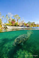 Kayaker glides effortlessly on the surface as a manatee g... by Becky Kagan