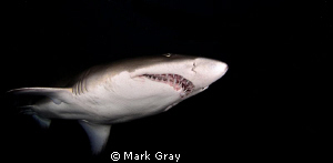 """Black, White, and Grey"". Grey Nurse Shark from Fish Rock... by Mark Gray"