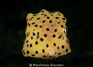 Yellow Box Nikon D200, 60 micro , twin strobo Lembeh st... by Marchione Giacomo