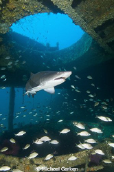 Carcharias taurus or a Sand Tiger Shark within the wreck ... by Michael Gerken