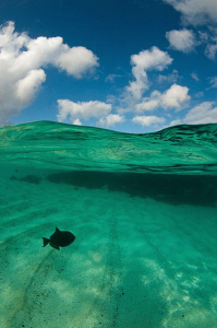 Black Durgon off English Bay, Ascension Island by Paul Colley