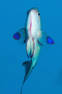 Male Anthias by Paul Colley