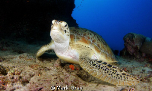 """THe lay about""....Green Turtle by Mark Gray"