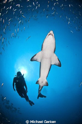 Carcharias taurus or Sand Tiger Shark with diver; Outer B... by Michael Gerken