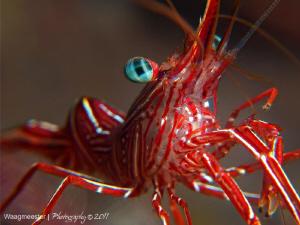 Hinge-Break shrimp (R. durbanensis), Tulamben, Bali Cano... by Marco Waagmeester