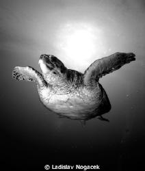 red sea turtle in black and white  by Ladislav Nogacek
