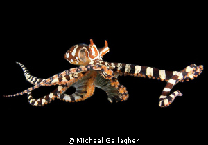 Free-swimming Wonderpus, Lembeh, Indonesia by Michael Gallagher
