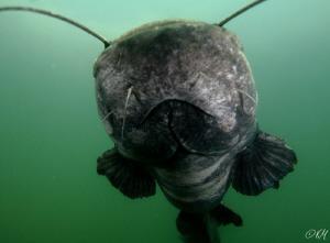Yesterday dive with catfish by Veronika Matějková