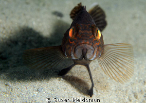 This is how to stand your ground.  Juvenile Black Bass by Suzan Meldonian