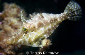 Slender filefish, Diamond Key, Utila by Tobias Reitmayr