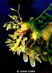 """""""For the love of Leafys"""" Leafy Sea Dragon at Tumby Bay j... by Jamie Coote"""