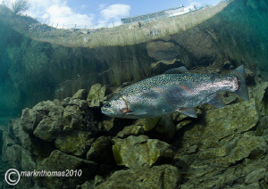 Rainbow trout.