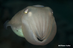 close up cuttlefish by William Loke