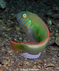 Green Razorfish Turning by Suzan Meldonian