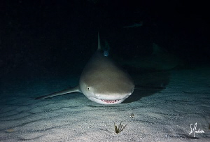 Night diving become really exciting at Tiger beach with t... by Steven Anderson