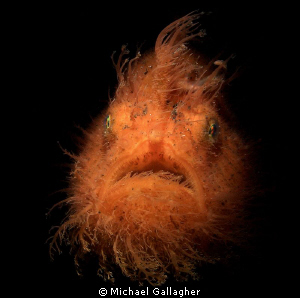 Hairy Frogfish with snoot, Lembeh by Michael Gallagher