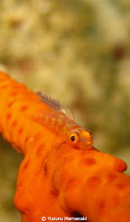 a whip goby with a parasite by Yuzuru Hamasaki