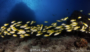 """Yellow line""...Yellow Snapper at Steve's Bommie, GBR by Mark Gray"