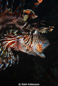 Lionfish yawning by Erich Reboucas