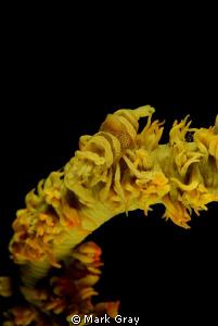 Sea Whip Shrimp by Mark Gray
