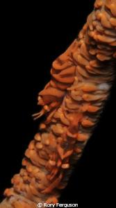 zanzibar shrimp on whip coral by Rory Ferguson