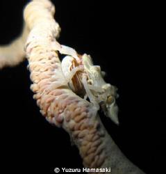 A big Xeno Crab sitting on whip coral by Yuzuru Hamasaki