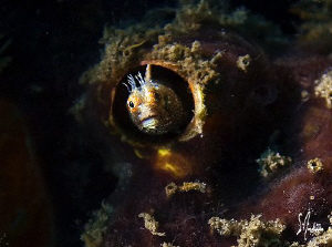 Hide and seek with a small Blenny at Blue Heron Bridge of... by Steven Anderson