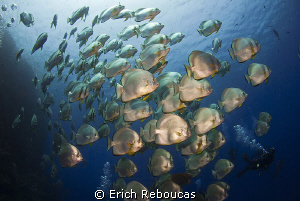 Schooling Batfish and divers by Erich Reboucas