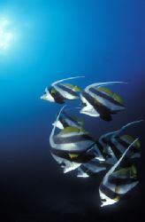 Schooling coachmen or bannerfish group and dance for the ... by Fiona Ayerst