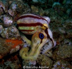 Mototi octopus at bonet's corner Dauin Negros,Philippines by Dorothy Aguilar