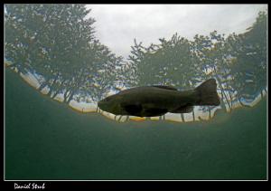 Tench (tinca tinca) right under the surface :-D by Daniel Strub