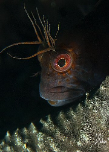 This closeup of a Blenny was taken at Blue Heron Bridge o... by Steven Anderson