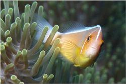 Palau, Micronesia, Clown fish in anemone, shot with Nikon... by Catherine Landa