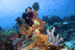 Reef Shot Alor, Indonesia by Tom Radio
