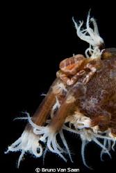 Very little crab by Bruno Van Saen