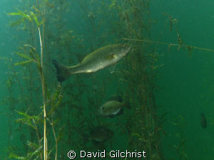 Fish 'hang out' among the vegetation in a local quarry cl... by David Gilchrist