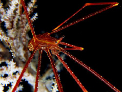 Spider Crab : ) by Bernard Maglana