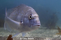 Snapper, taken at Goat Island on New Zealands east coast.... by Tony Breen