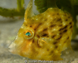 Planehead Filefish juvenile, taken with 60mm and 10x Subsee by Suzan Meldonian