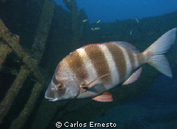 Guardian of the wreck.Diplodus cervinus by Carlos Ernesto