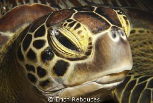 Green turtle portrait by Erich Reboucas
