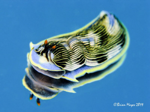 Armina nudibranch feed on sea pens in the sand and crawl ... by Brian Mayes