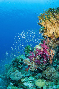 Coral outcrop & Glassfish school by Paul Colley