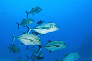 School of Jacks off Ascension Island, South Atlantic by Paul Colley