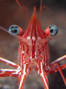 Hinge-back shrimp, Tulamben by Doug Anderson